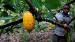 Cocoa in Ivory Coast