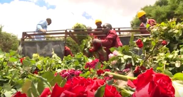 Kenya's Flowers Left To Rot Amid Coronavirus Slowdown
